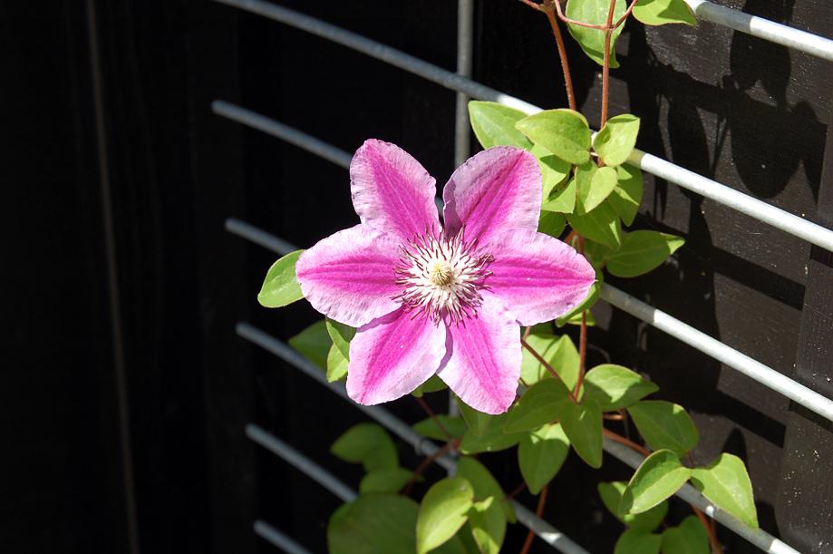 fleurs-legehus-hjemmelavet_klematis_espalier
